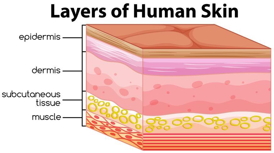 Human Skin Layers